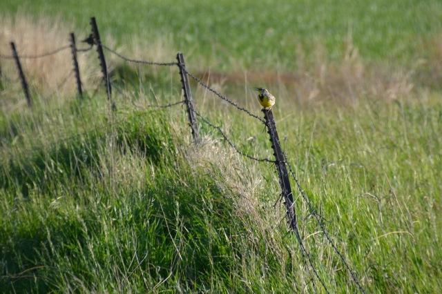 meadow lark in song